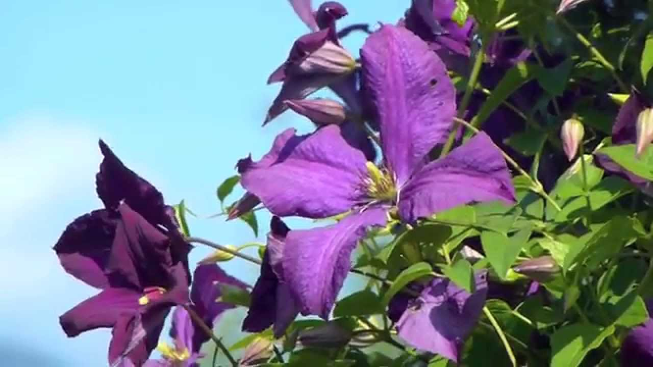 the climber rose new dawn and the clematis jackmanii kletterrose und waldrebe youtube
