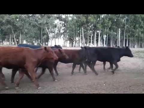 LOTE V01 - 56 TERNEIRAS E TERNEIROS CRUZADOS (42F - 210 KG E 14M - 190 KG)