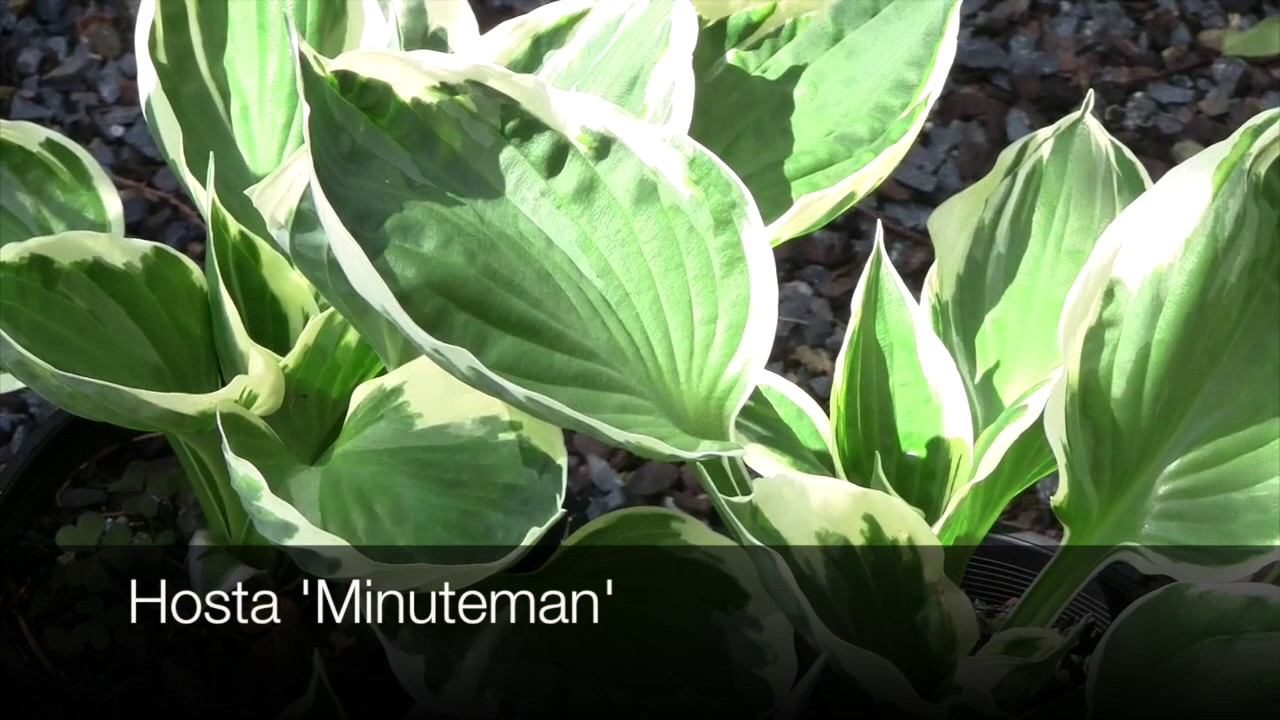 Hosta Varieties Youtube