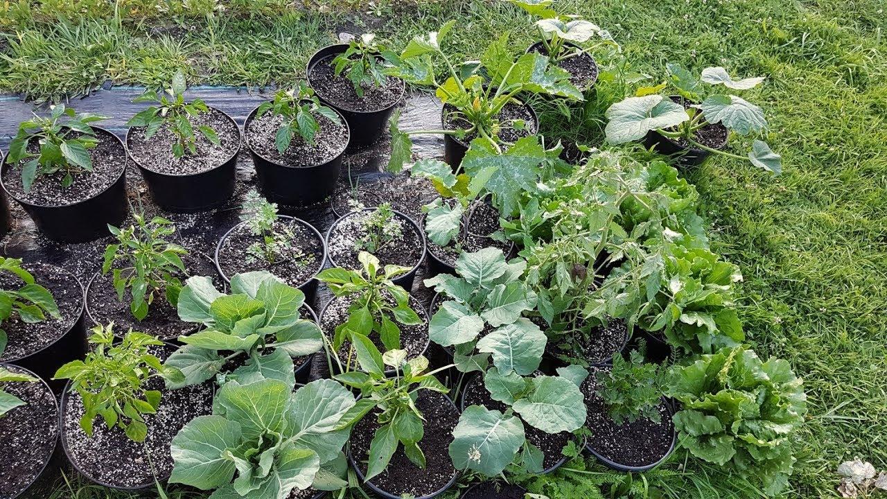 Instruktaż Uprawa Warzyw W Donicach Pomidor Burak Sałata Kapusta Seler I Nie Tylko