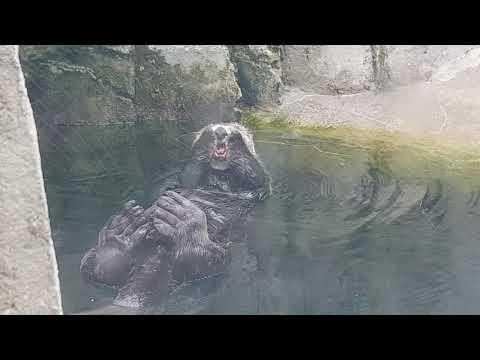 A male of Alaska sea otter