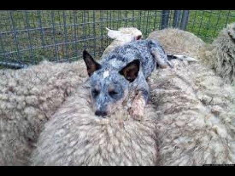 Австралийская пастушья собака. Кэлпи? Всё о породах!