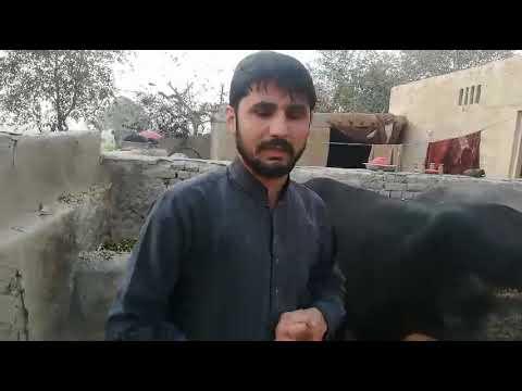 Cross Bread Australian Cow On Sale In Pakistan On You Tube