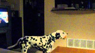 Singing Dog - Jasper The Dalmatian
