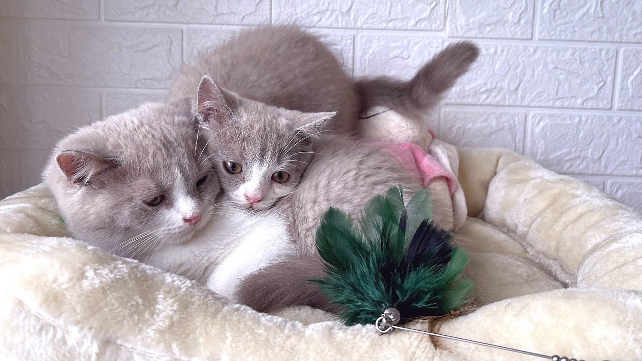 Brother and sister British Shorthair