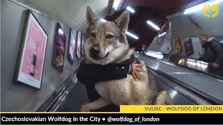 Vulric is a Czechoslovakian Wolfdog in the City and he is really po...
