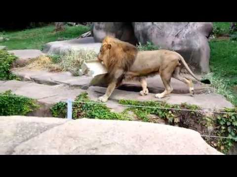Lincoln Park Zoo Lion jumps off cliff.
