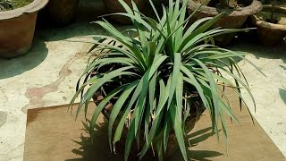 Yucca Rostrata || How to Grow and Care Yucca Plant || Budget Gardening || (Hindi)