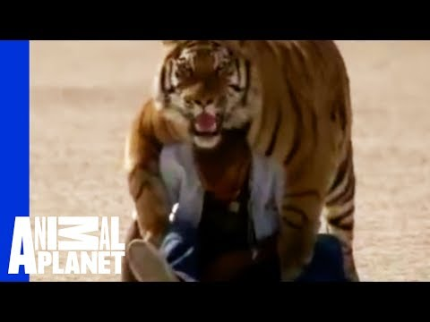 Fatal Attractions: Living With Tigers