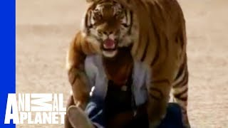 fatal attractions living with tigers