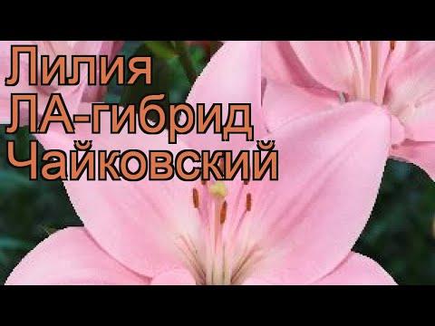 Лилия ла-гибрид Чайковский �� обзор: как сажать, луковицы лилии Чайковский