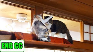 Native cat standing in Boss Cat's way but peacefully solved by his quick‐wittedness【Eng CC】