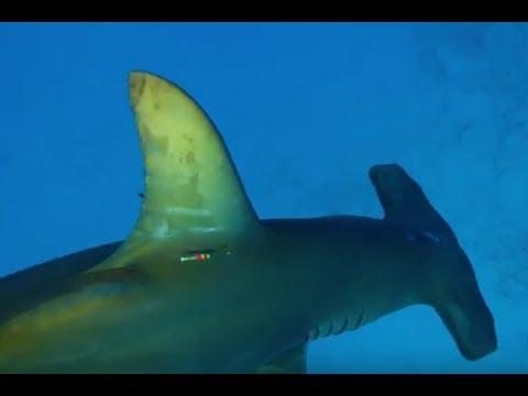 Акула-молот выходит на охоту | Неделя акул | Discovery Channel