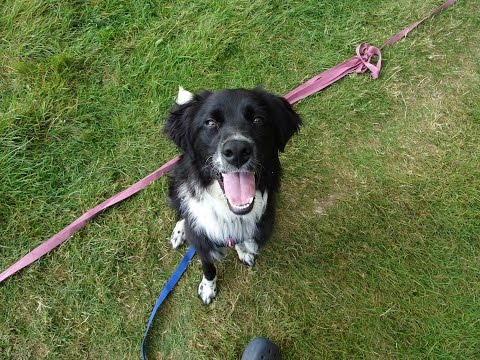 Winnie - Collie x Setter - 3 Weeks Residential Dog Training