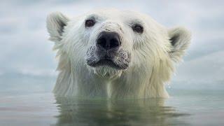 Face To Face With The Polar Bear (Wildlife Documentary) thumbnail