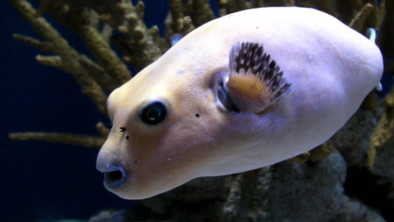 dog faced puffer fish youtube