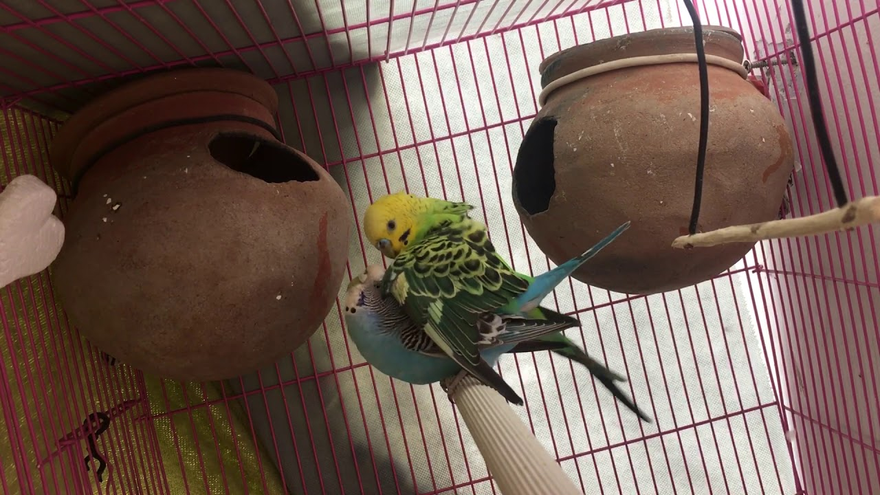 Budgies mating now