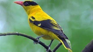 Suara Nyanyian Ocehan Kicauan Burung BELALANG EMAS