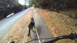 Howling Dog Distance Harness German Shepherd Scooter Run With Bath