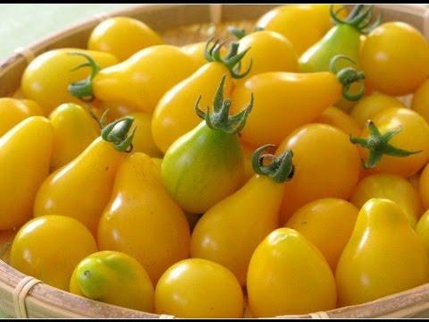 Yellow Pear Tomamo / Томат ( помидор ) Жёлтая груша / 29 Августа 2016