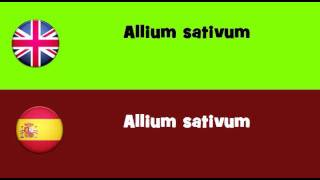 FROM ENGLISH TO SPANISH = Allium sativum