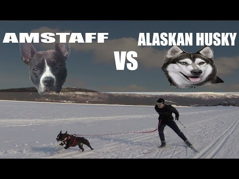 AMSTAFF DISCOVER HER HUSKY GENES! Sled Dog on a Lake Surrounded by Mountains