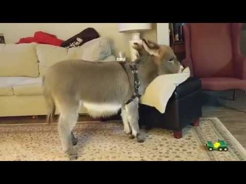 Meet the adorable baby donkey who acts like a puppy