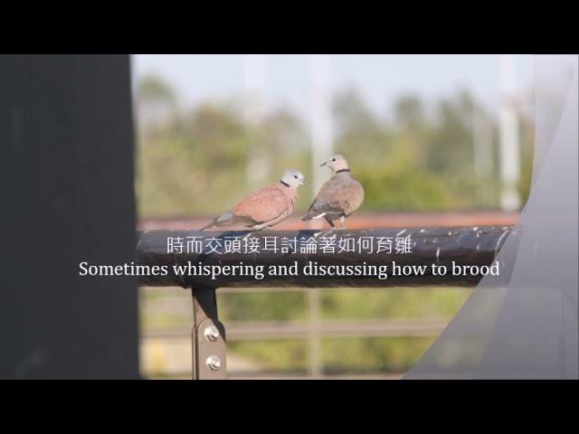 紅鳩夫妻愛愛育雛篇Red Turtle Dove Couple Making Love.---The Story of Brooding