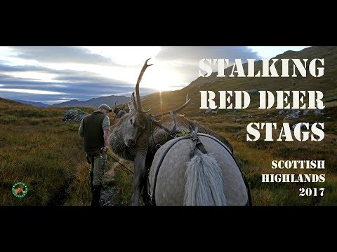 Stalking Red Deer Stags Scottish Highlands 2017