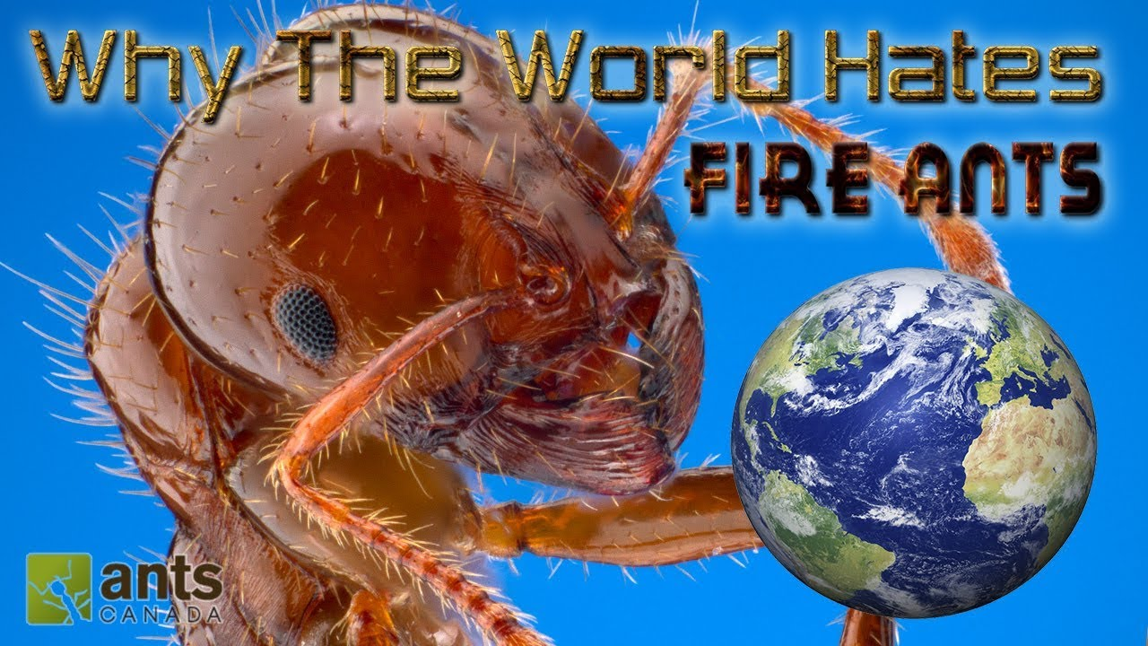 why-the-world-hates-fire-ants