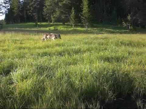Yellowstone Wolves encounter