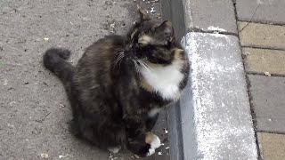 Красивые кошки Белгорода и видео про кошек(Кошка с красивыми глазами гуляет на улице Любопытная кошка., 2016-06-07T04:32:14.000Z)