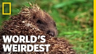 Hedgehogs Love Poisons | World's Weirdest