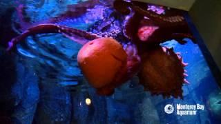 The Best Treat for an Octopus? A Pumpkin, of Course!