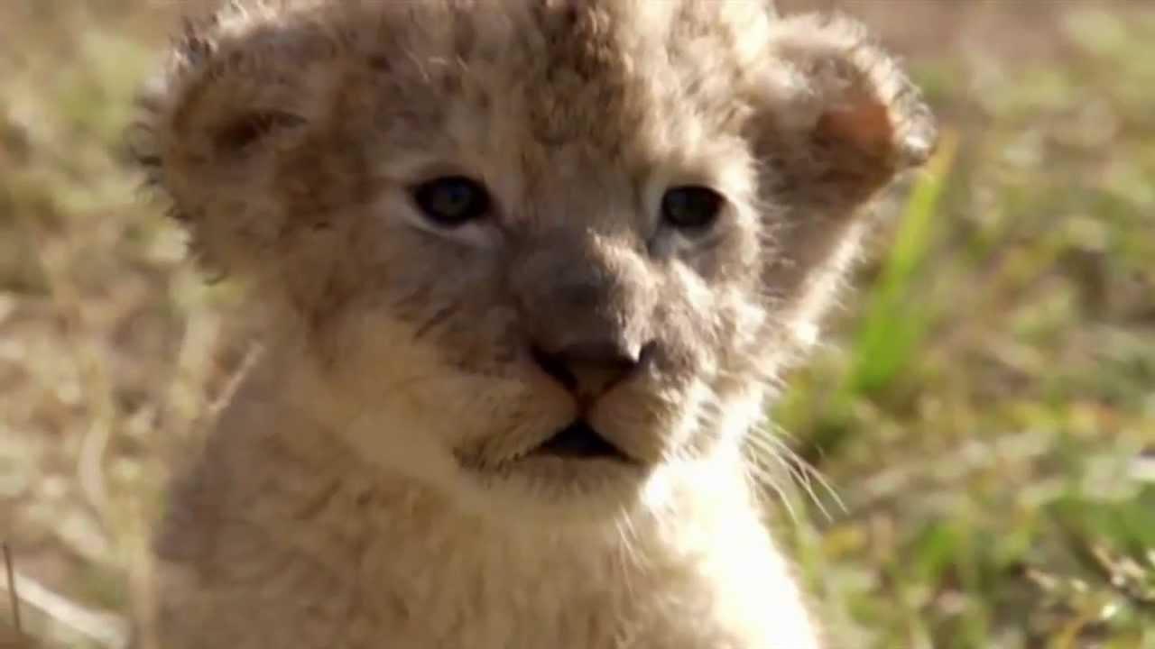Animal Planet Cortnilla Le U00f3n YouTube