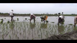 Rice production in India