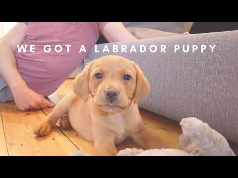 WE GOT A PUPPY // MEET OUR 8 WEEK OLD GOLDEN FOX RED LABRADOR