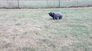 Nelson The Skye Terrier