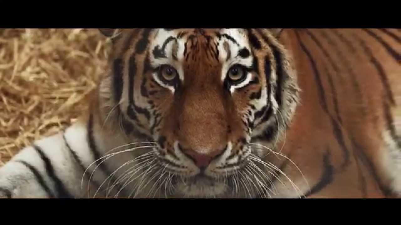 Tiger Cubs born at Woburn Safari Park - Keeper Interview
