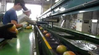 【JAあいづ】JAあいづ猪苗代トマト共選所稼働開始
