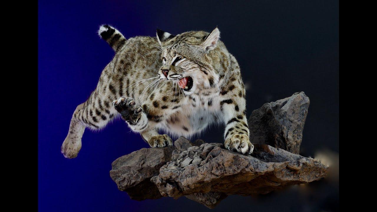 Bobcat Body Mount 7 Uncut