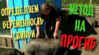 как определить, что свинья беременна