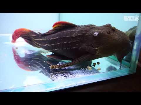 [fish tank] L-24, albino sailfin pleco, royal pleco, geophag