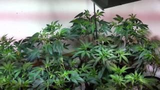 organic og kush grow