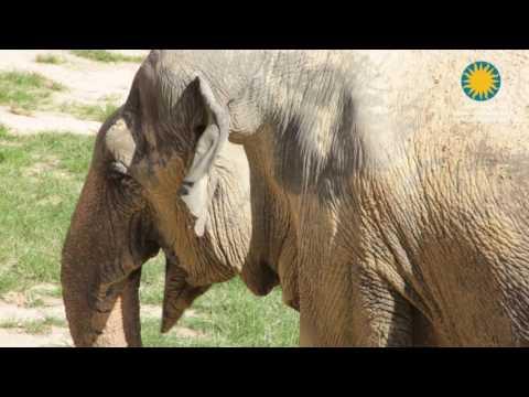 Treating Asian Elephant Shanthi's Arthritis at the Smithsonian's National Zoo