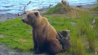 Аляска Медведица защищает детёныша от жестоких самцов и одновременно ловит рыбу на Brooks River 2015.