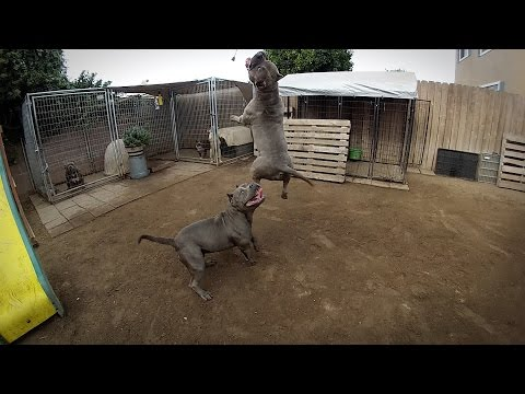 AMAZINGLY MUSCLED UP BULLY DOG SHOWS OFF JUMPING ABILITY