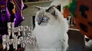 Halloween Special | The Haunted House (Scary Vampire vs Bowie The Ragdoll Cat)