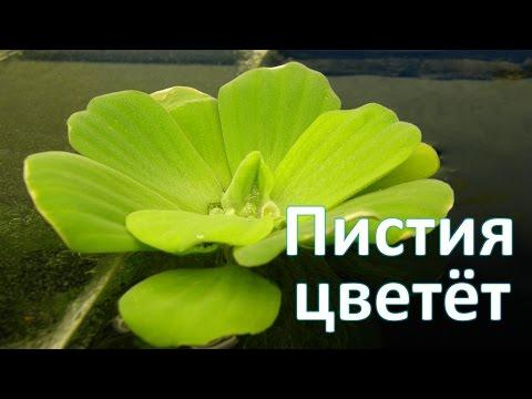 Пистия цветёт (Pistia stratiotes)