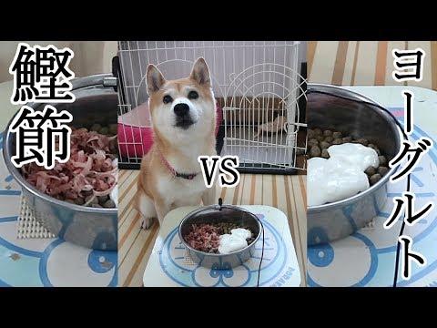柴犬�春 自分�特大ゲップ�ビックリ�����ら食�る?鰹節vsヨーグルト�大興奮 Shiba Koharu eats Katsuobushi and Yogurt